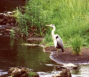 A heron feeds in Dovedale